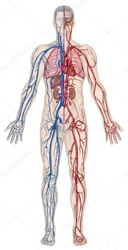 sieć naczyń krwionośnych